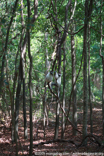 Pair of Verreaux's Sifaka in Berenty's gallery forest