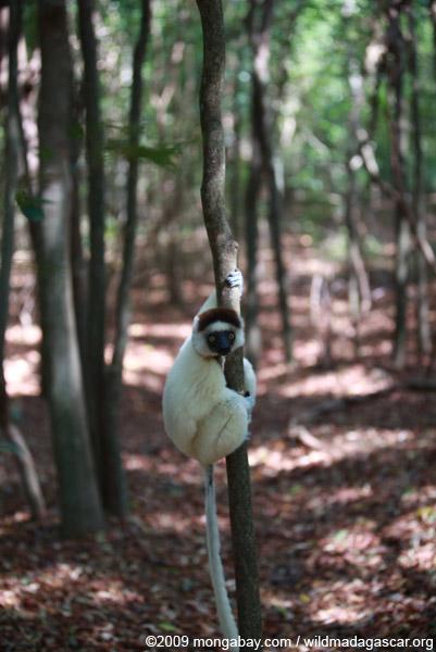 Verreaux's Sifaka (Propithecus verreauxi) in a forest