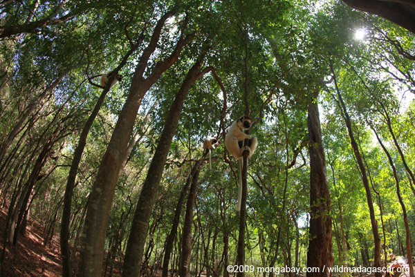 Sifaka forest