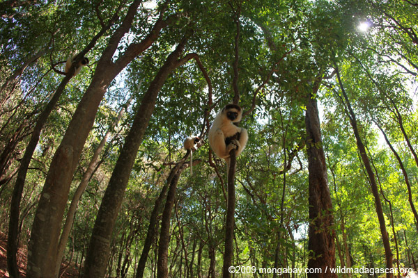 Sifakas in a dry forest in southern Madagascar