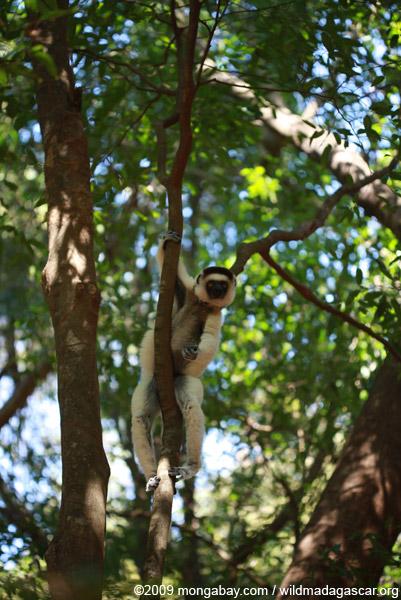 Sifaka straddling a small tree
