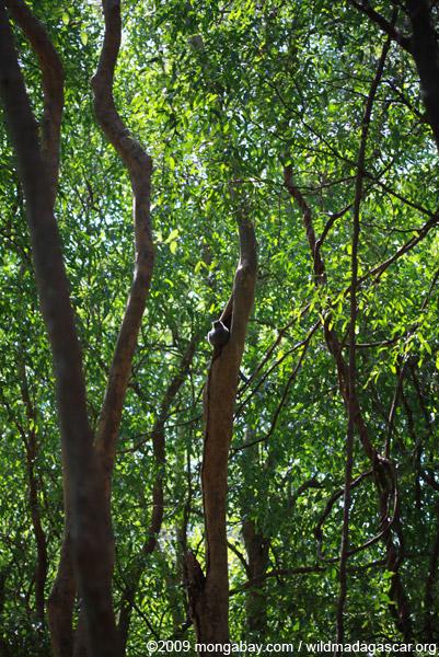 White-footed Lepilemur (Lepilemur leucopus) high in a tree hollow
