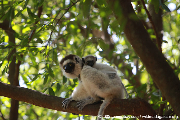 Mother Verreaux's Sifaka with baby