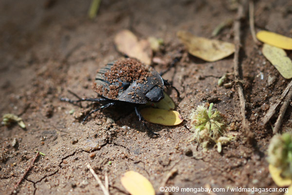 Dung beetle in Madagascar