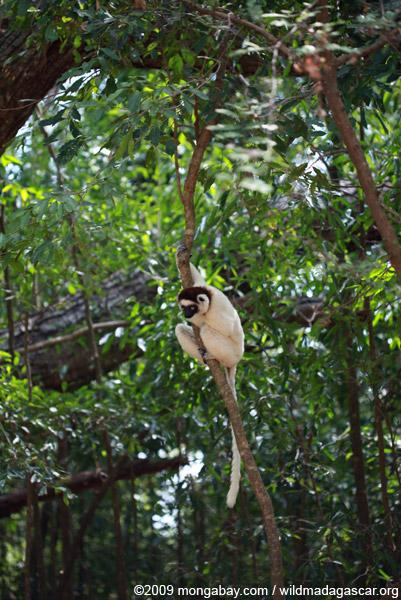 Verreaux's Sifaka (Propithecus verreauxi)