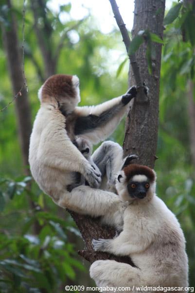 Baby Verreaux's Sifaka (Propithecus verreauxi) nursing with its mother