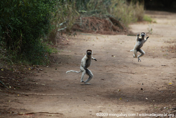 Verreaux's Sifaka (Propithecus verreauxi) in a heated chase
