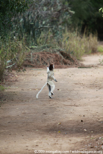 Territorial chase between a pair of Verreaux's Sifaka (Propithecus verreauxi)