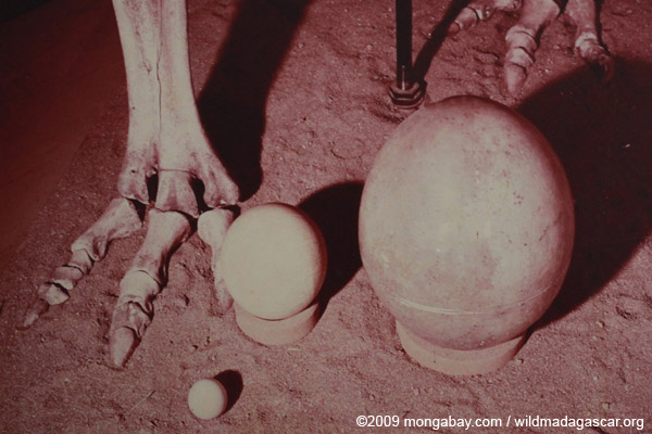 Size comparison between the eggs of an elephant bird, ostrich, and chicken