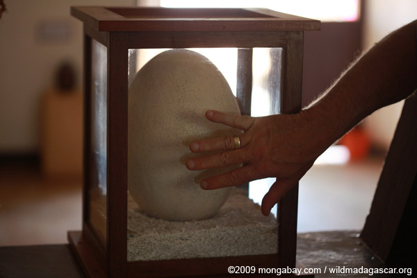 Man's hand in front of the giant elephant bird egg, for size comparison