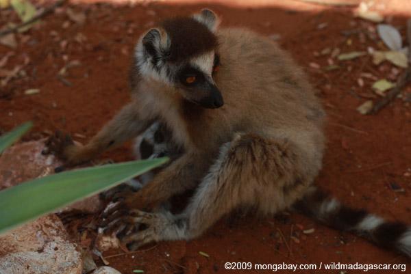 Mother ring-tail lemur nursing her baby