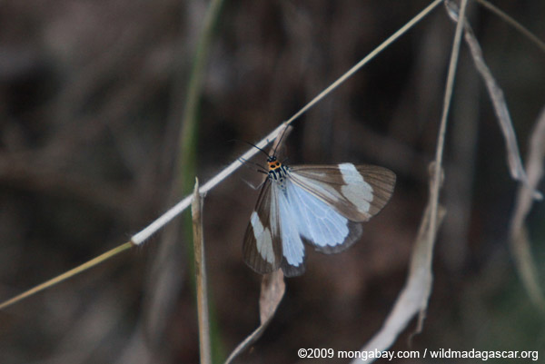 White and gray butterfly with an orange head
