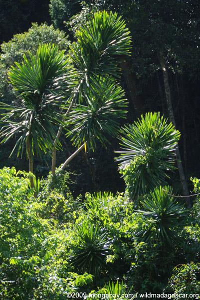 Pandanus tree