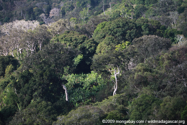 Illicit banana plantation in a forest reserve
