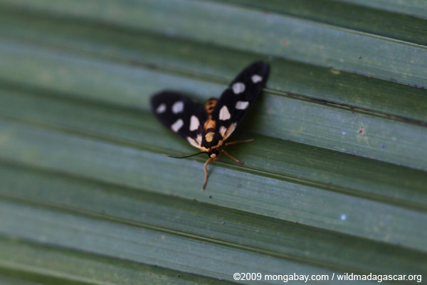 Black moth with orange and green spots