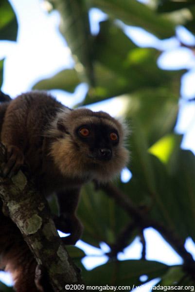 Sanford's Brown Lemur (Eulemur sanfordi)