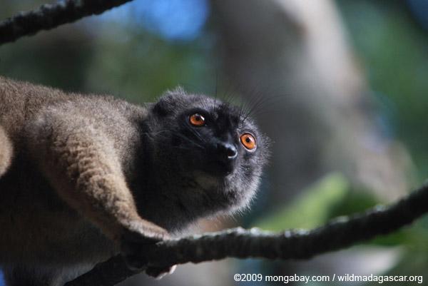 Collared Brown Lemur (Eulemur collaris) outside it range