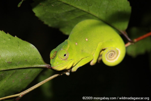 Petter's Chameleon (Furcifer petteri) [female]