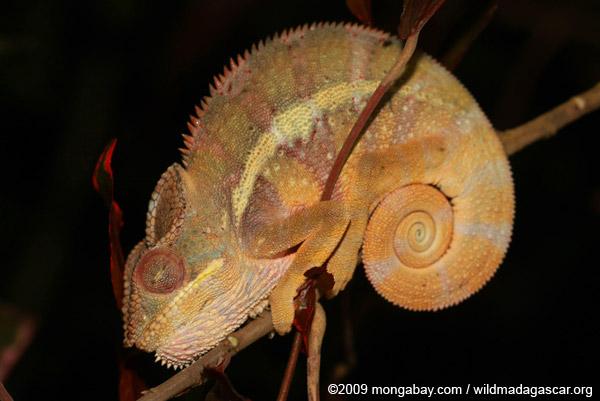 Sleeping panther chameleon