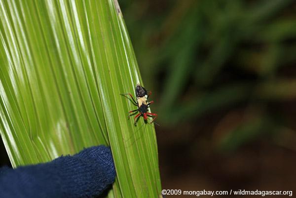 Reduviidae (a true bug)