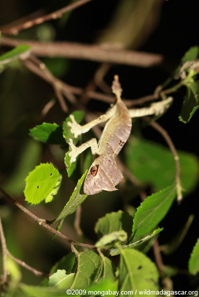 Speartail Leaf-tail Gecko (Uroplatus ebenaui)