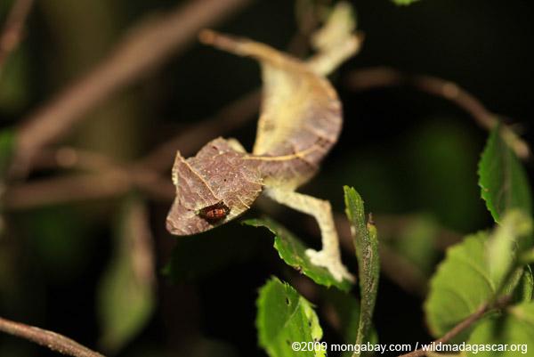 Spearpoint Leaf-tail Gecko (Uroplatus ebenaui)
