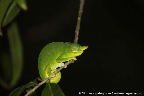 Petter's Chameleon (Furcifer petteri) [male]