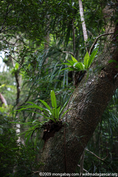 Birdnest fern in the rainforest canopy
