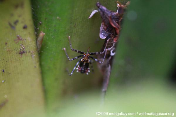 Reduviidae juvenile