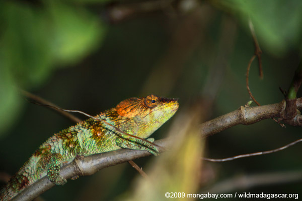 Amber Mountain chameleon (Calumma ambreense) [male]