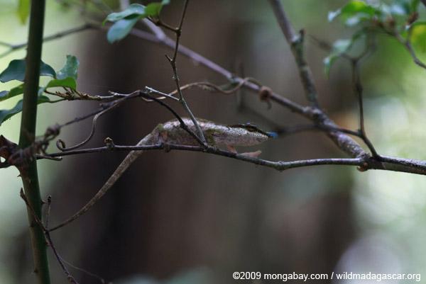 Blue-nosed Chameleon (Calumma boettgeri)
