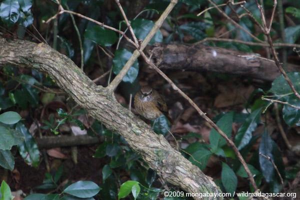 Amber Mountain Rock-thrush (Monticola erythronotus) [female]