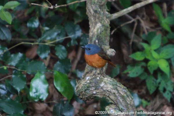 Amber Mountain Rock-thrush (Monticola erythronotus) [male]