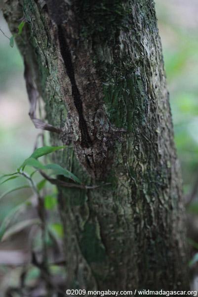 Mossy Leaftail Gecko (Uroplatus sikorae)