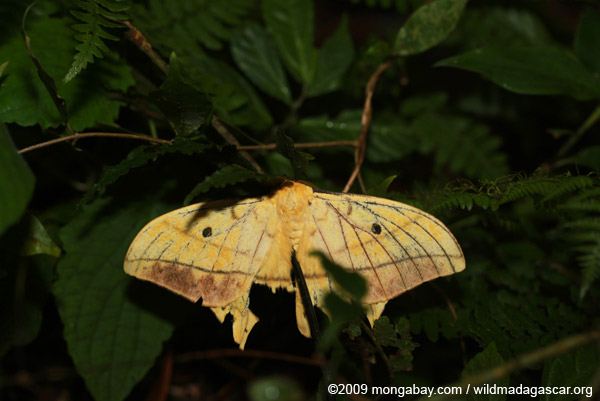 Comet moth with damaged wings