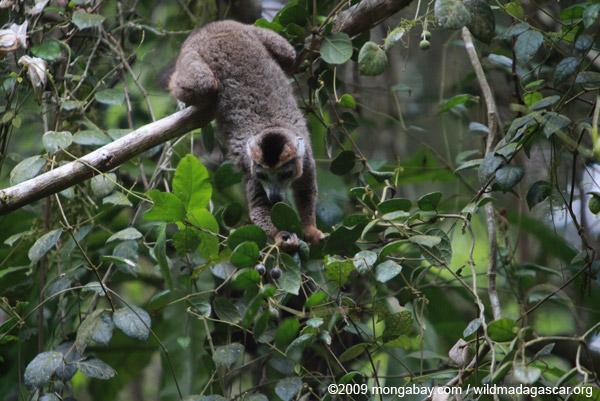 Crowned lemur feeding