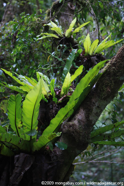 Bird nest ferns
