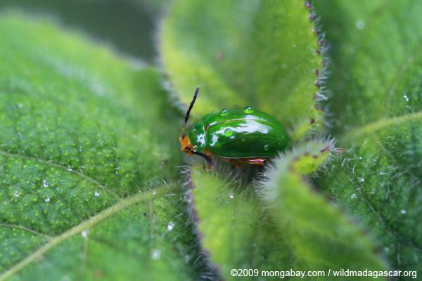 Green beetle with an orange head
