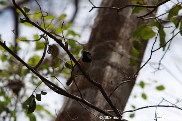 Red-tailed Vanga (Calicalicus madagascariensis)