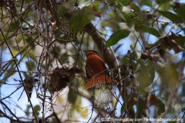 Madagascar Paradise Flycatcher (female) Terpsiphone mutata