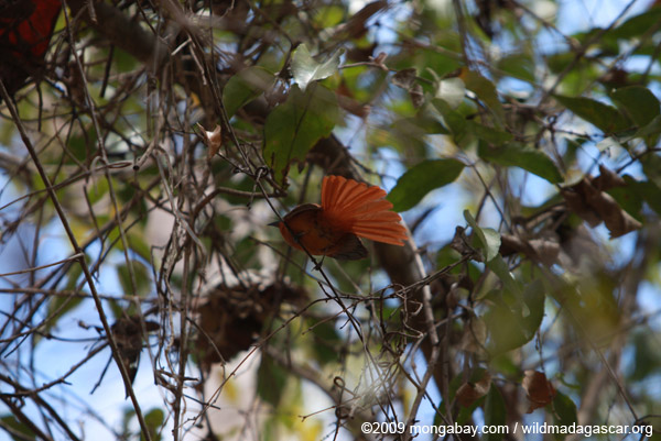Madagascar Paradise Flycatcher (female) fanning her tail