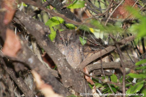 Madagascar Scops-Owl (Otus rutilus)
