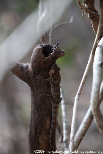 Sakalava's Velvet Gecko (Homopholis sakalava)
