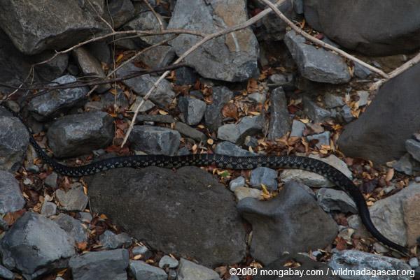 Malagasy giant hognose snake (Leioheterodon madagascariensis)