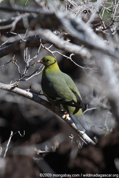 Madagascar green pigeon (Treron australis)