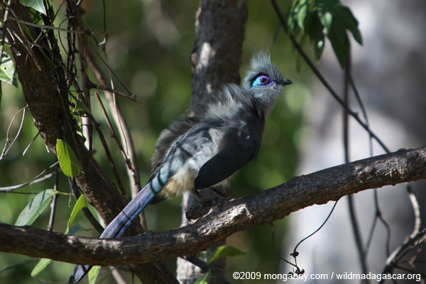 Adult crested coua in Madagascar. Photo by: Rhett A. Butler.