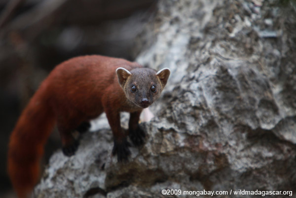 Ringtailed mongoose