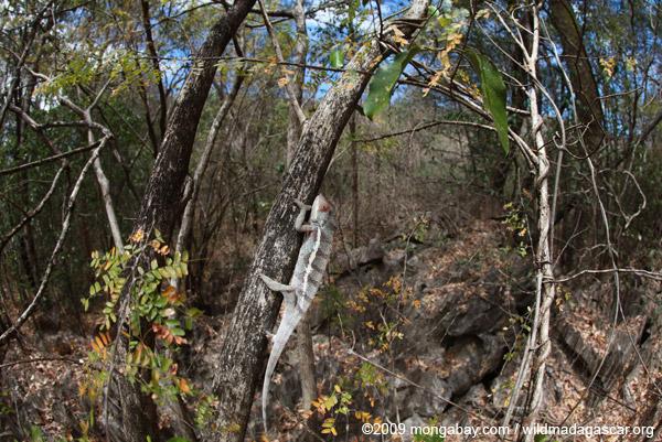 Ankarana Panther chameleon (Furcifer pardalis)