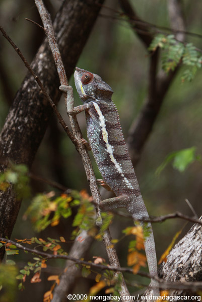 Ankarana Panther chameleon (Furcifer pardalis) in dry forest area