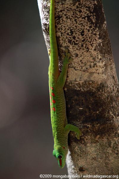 Madagascar day gecko (Phelsuma madagascariensis)